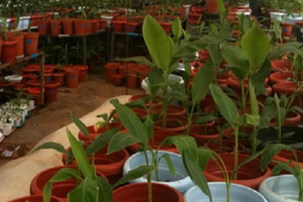 Plants from France to revive banana industry in Dominica
