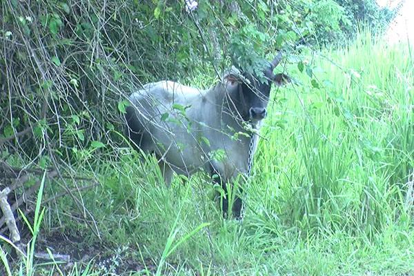Livestock Causing Accidents