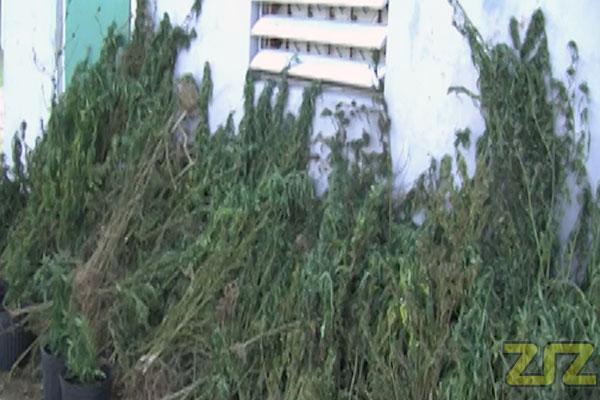 Marijuana plants found in Keys' mountain