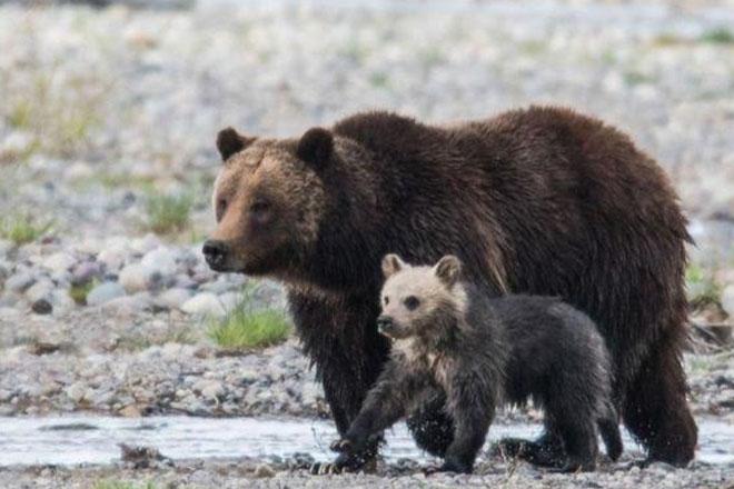 Bear cub Snowy killed by car in Grand Teton National Park