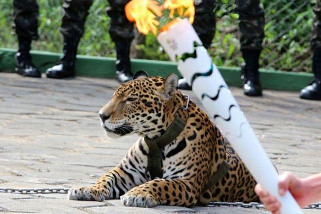 Rio 2016: Jaguar in Amazon torch relay shot dead