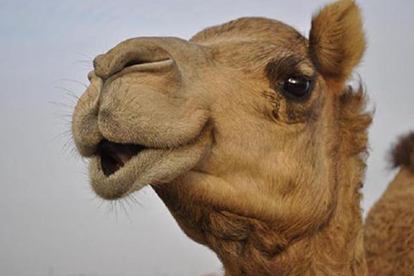Baby's head bitten by circus camel in France