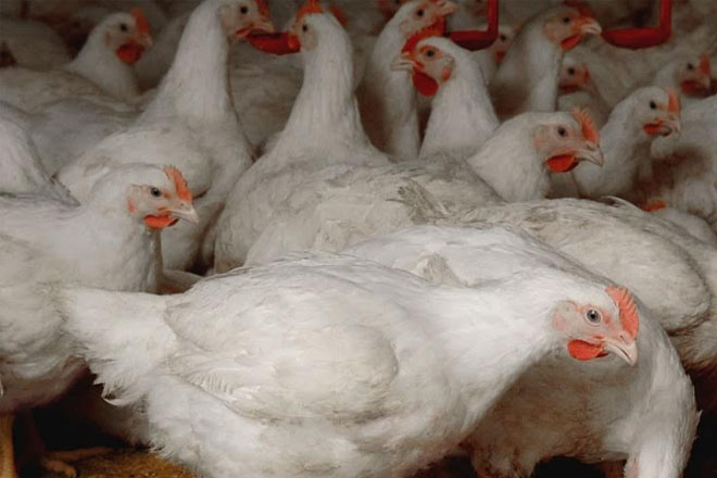 No Foul Play: This Is Why Hundreds of Chickens in Guyana Were Dropping Dead