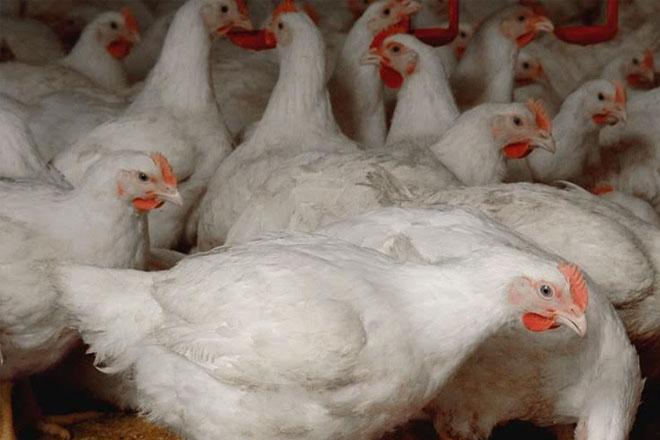 Guyana seeks US help as chickens drop dead