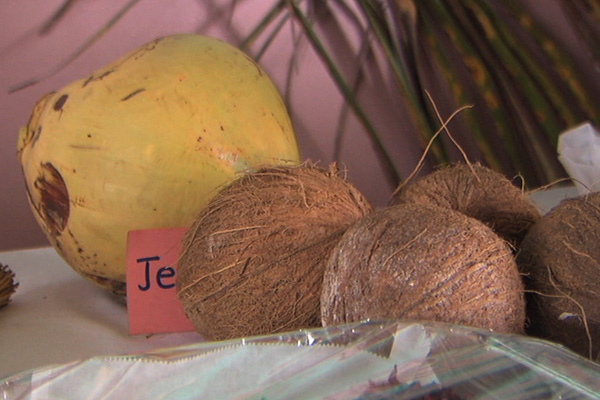 George Moody Stuart Primary Hosts Coconut Festival