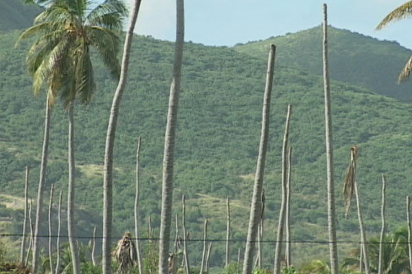 St. Kitts to replant 3,000 coconut trees to keep jelly water and craft makers in business