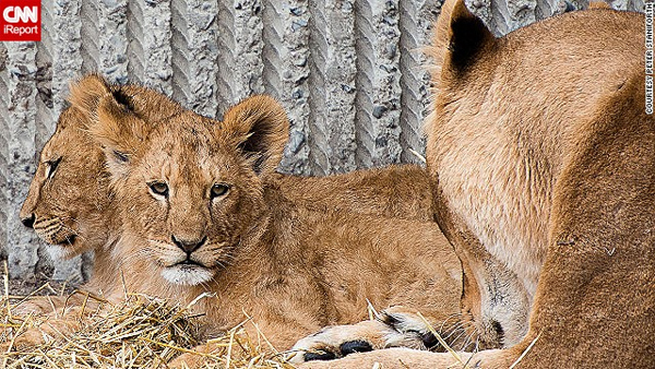 Copenhagen Zoo kills 4 lions, weeks after shooting giraffe