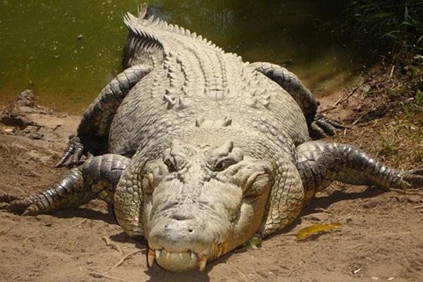 Crocodile takes Australian boy, mauls another