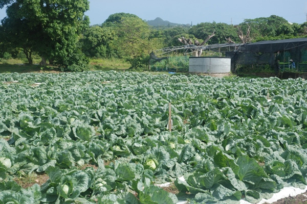 Nevis' Department of Agriculture working to increase cabbage production