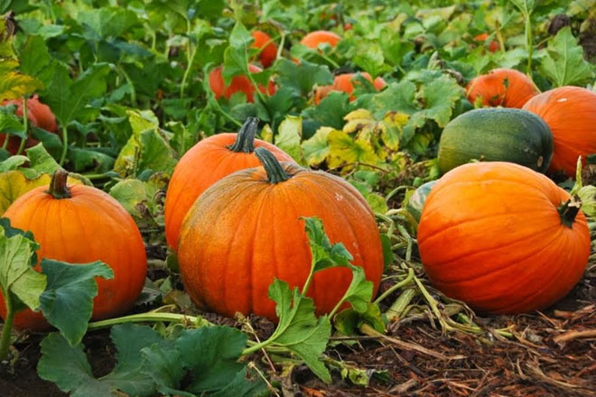 Pumpkin to be showcased for Restaurant Week 2016