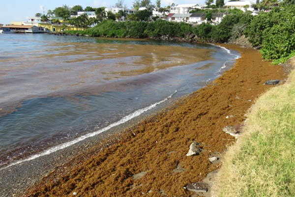 Seaweed buildup on Basseterre, Frigate  Bay shorelines
