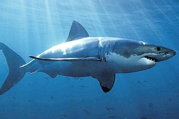 Australian man killed in suspected shark attack
