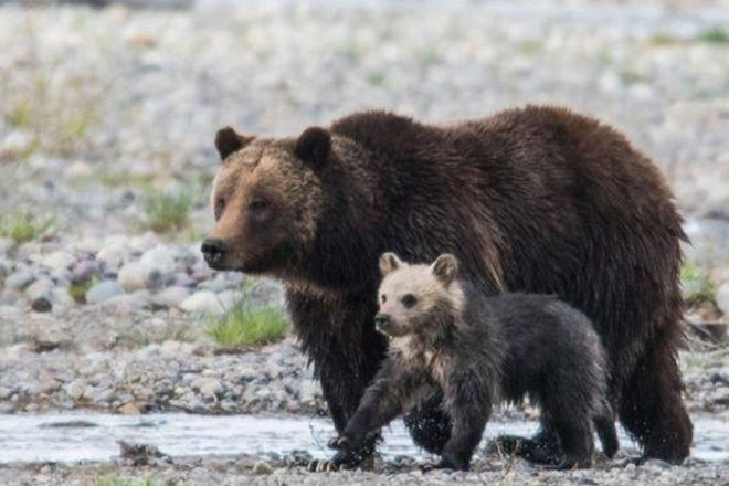 Bear cub Snowy killed by car in Grand Teton National Park